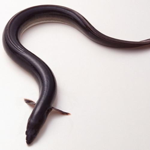 鳗鱼[图]