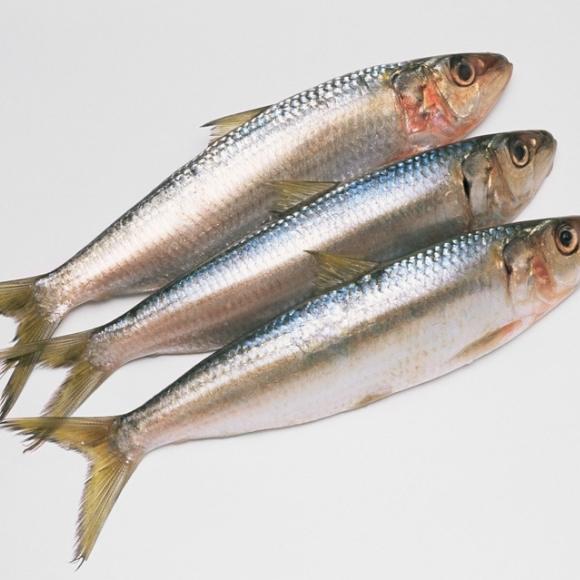 沙丁鱼[图]