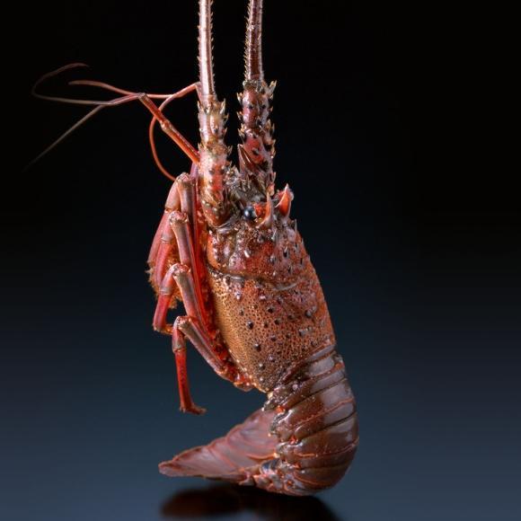 龙虾[图]