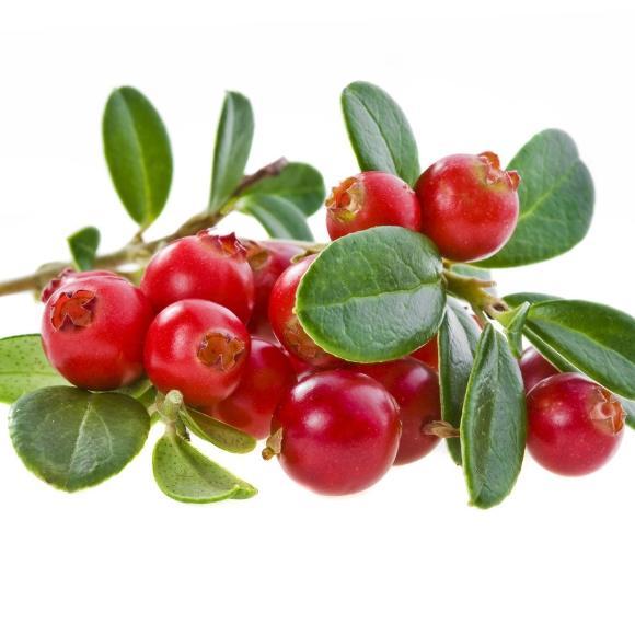 蔓越莓[图]