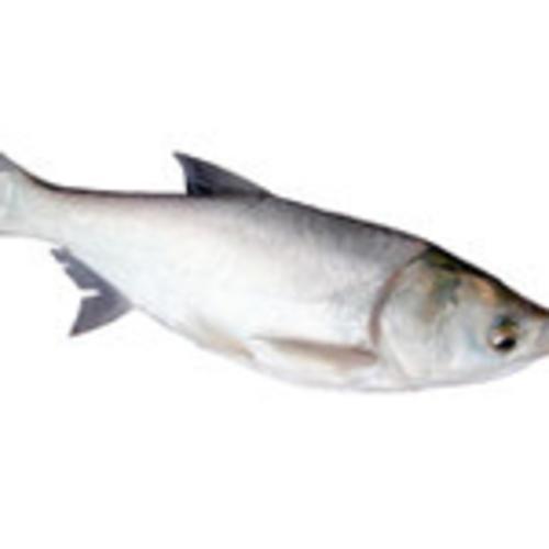 鲢鱼[图]