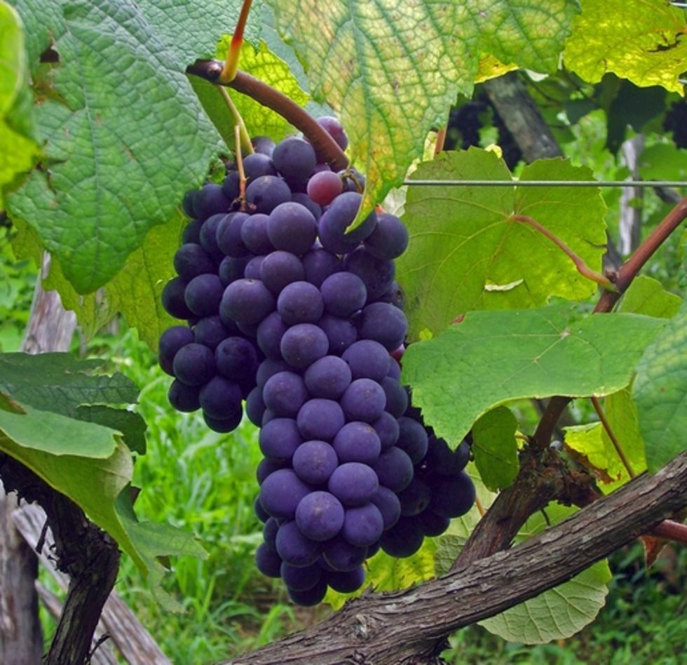 集安山葡萄