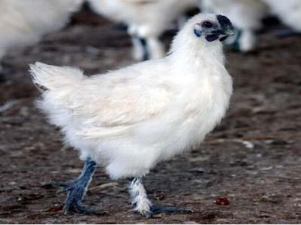 白毛乌骨鸡