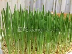 小麦草水培的做法