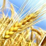 小麦[图]