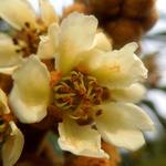 枇杷花[图]
