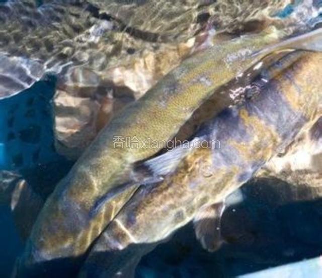 中甸高原鱼