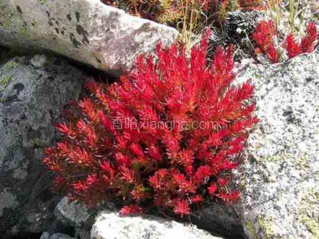 小丛红景天